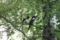 Magpies on the tree Royalty Free Stock Photo