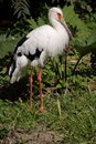 Maguari stork Royalty Free Stock Photos