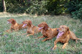 Magyar vizsla four dogs are lying on the grass Stock Image