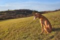 Magyar vizsla hunting dog autumn evening Royalty Free Stock Image