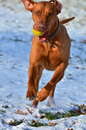 Magyar vizsla running with a ball Royalty Free Stock Photography