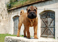 Mahagony  sharpei puppy Royalty Free Stock Photography