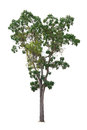Mahogany Tree isolated on white Royalty Free Stock Photo