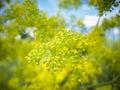 Mahonia aquifolium blossom Royalty Free Stock Photo
