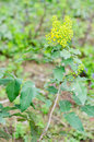 Mahonia aquifolium Royalty Free Stock Photo