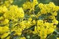 Mahonia blossom Royalty Free Stock Photo