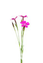 Maiden pink (Dianthus deltoides) Royalty Free Stock Photo