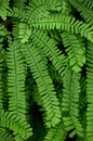 Maidenhair Fern Royalty Free Stock Photo