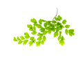 Maidenhair leaves isolated white background Royalty Free Stock Photography