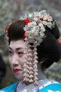 Maiko kamishichiken kyoto japan april has attent to baika sai festival also baien ume garden Stock Photo