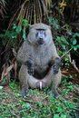 A mail baboon monkey Royalty Free Stock Photography