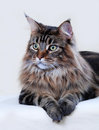 Maine Coon cat Royalty Free Stock Photo