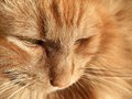 Maine coon cat closeup full frame portrait of a red Stock Photos