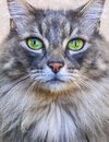 Maine coon cat face Royalty Free Stock Photo