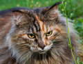 Maine coon cat in the grass Stock Images