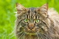 Maine Coon Stock Image
