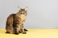Maine coon cat on gray and yellow background Stock Photography
