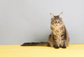 Maine coon cat licking with tongue on gray and yellow background Royalty Free Stock Image