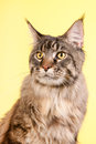Maine coon cat on pastel yellow portrait pedigree color Stock Image