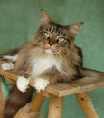 Maine coon cat portrait Royalty Free Stock Photo
