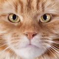 Maine coon cat portrait of a purebred on a white background Stock Image