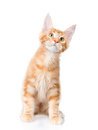 Maine coon cat  sitting in front view and looking up.  o Royalty Free Stock Photo