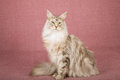 Maine coon cat sitting on mauve background tabby Stock Photo