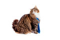 Maine coon cat on white portrait of with blue strass tie background Royalty Free Stock Photo