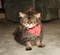 Maine coon in costume cat as a cowboy Stock Photo