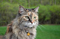 Ð¡at Maine Coon in garden Royalty Free Stock Photo