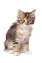 Maine coon kitten Royalty Free Stock Photo