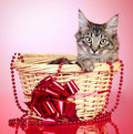 Maine coon kitten in a basket with a red bow Stock Images
