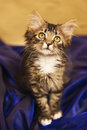Maine Coon Kitten in Blue Satin Royalty Free Stock Photo