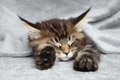 Maine coon kitten sleep under blanket Royalty Free Stock Image