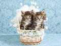 Maine Coon kittens in woven crib Royalty Free Stock Photography