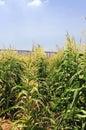 Maize Stock Photo
