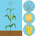 Maize as a plant