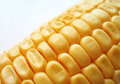 Maize cob Royalty Free Stock Images