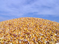 Maize -Corn Royalty Free Stock Photo