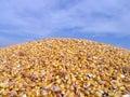 Maize -Corn Royalty Free Stock Photo