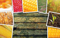 Maize corn in agriculture, photo collage Royalty Free Stock Photo