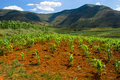 Maize (corn) plants growing in Lesotho Royalty Free Stock Image