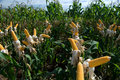 Maize Crop Royalty Free Stock Images