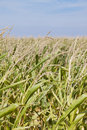 Maize crop Stock Photo