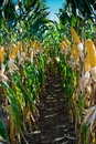Maize Crop Stock Photos