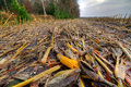 Maize ears left on a field muddy after harvest Royalty Free Stock Image