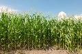 Maize field Royalty Free Stock Photo