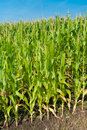 Maize field Royalty Free Stock Photo