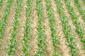 Maize field the background of Royalty Free Stock Photos