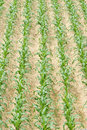Maize field the background of Royalty Free Stock Image